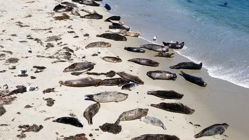 Seals on the beach at La Jolla Cove